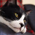 ソファーから顔を出し遠くを見つめる猫